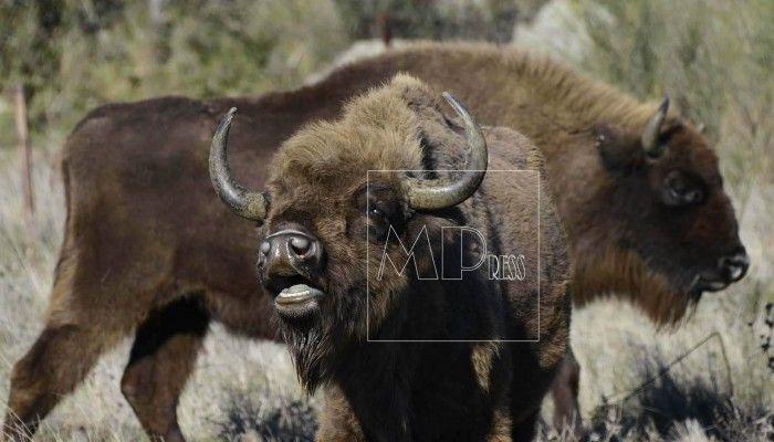Bisontes en plena naturaleza en la finca El Campillito