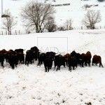 Hontomin.Burgos. Ganaderia La Cabañuela de toros de Lidia