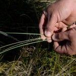 ilos de la planta del esparto verde y seco