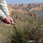 ilos de la planta del esparto proceso del arrancado con un palo de olivo
