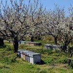 Los cerezos en flor del Valle del Jerte