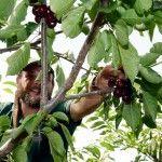 La cereza roja del Jerte