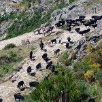 La vaca avileña en la calzada romana