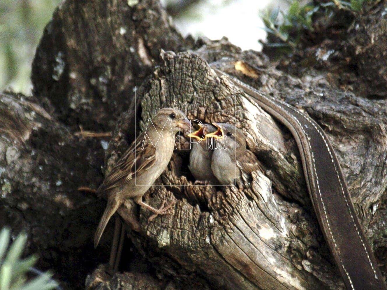 Nido de Gorreones en el tronco de un Olivo Pedrezuela Madrid 0022